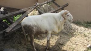Mums Ram